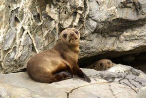 Seals Gillespies Beach
